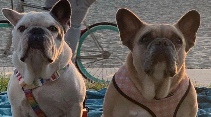Lady Gaga Siap Memberi Imbalan Rp 7,1 Miliar Untuk Yang Menemukan Kedua Anjingnya